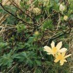 Yellow anemone/ キバナイチゲ 花の咲いている様子