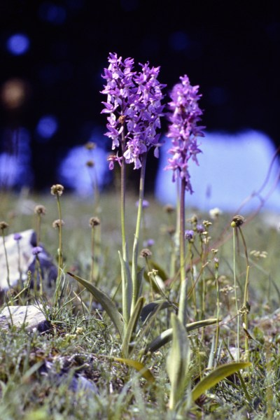 Orchis mascula/ Early-purple orchid