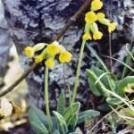 Primula veris/ Cowslip/ Primula a gambo lungo