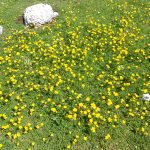 Ranunculus acris/ Meadow buttercup/ Ranuncolo/ Ranunculus acris/ Meadow buttercup/ Ranuncolo/ ミヤマキンポウゲ