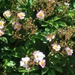 Wild rose Tsukushi ibara/ ツクシイバラ 花の咲いている様子