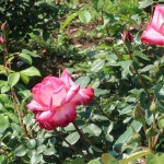 Modern garden rose, Hybrid Tea, Olympic torch 聖火