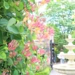 Honeysuckle/ ハニーサックル 花の咲いている様子