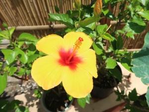 Chinese hibiscus/ ハイビスカス ブッソウゲ 黄色の花の姿