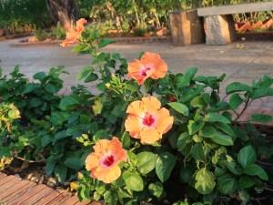 Chinese hibiscus/ ハイビスカス ブッソウゲ 花の様子