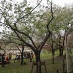 Cherry var. Usuzumi/ ウスズミ 花の咲いている様子
