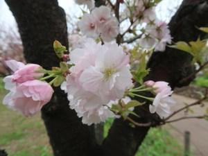 Cherry var Wasemiyako/ ワセミヤコ 花の姿
