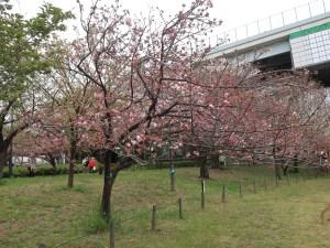 Cherry var. Itokukuri イトククリ 花の咲いている木の様子