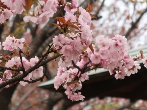 Cherry var. Yae-murasakizakura ヤエムラサキザクラ 花の様子