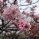 Cherry var. Yae-murasakizakura ヤエムラサキザクラ