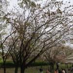 Cherry var. Gyoikou ギョイコウ 花の咲いている木の様子