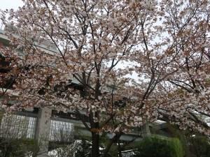 Cherry var. Gozanomanioi ゴザノマニオイ 花の咲いている木の様子