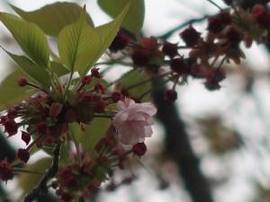 Cherry var. Hiyodorizakura ヒヨドリザクラ 花の様子