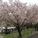 Cherry var. Taoyame/ タオヤメ 手弱女 花の咲いている木の姿
