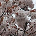 Cherry var. Taoyame/ タオヤメ 手弱女 花の咲いている様子