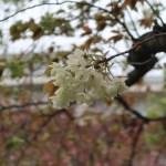 Cherry var. Gyoikou ギョイコウ ギョイコウの枝に咲いたウコンに似た花(枝変わり)