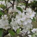Chinese crabapple/ ヒメリンゴ 花の様子