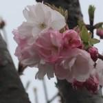 Cherry var. Fukurokujyu フクロクジュ 花の様子