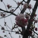 Cherry var. Fukurokujyu フクロクジュ 花の咲いている様子