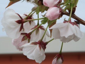 Cherry var. Ariake/ アリアケ 花の姿