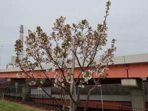 Cherry var. Ariake/ アリアケ 花の咲いている木の様子