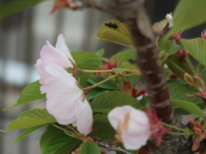 Cherry var. Mikurumagaeshi ミクルマガエシ 御車返し 花の姿