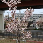 Cherry var. Syujyaku シュジャク 朱雀 花の咲いている木の様子(若木)
