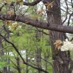 Cherry var. Gyoikou ギョイコウ ギョイコウの枝に咲いたウコンに似た花(枝変わり)とギョイコウの花