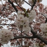 Cherry var. Senrikou センリコウ 花の様子