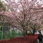 Cherry var. Youkihi ヨウキヒ 楊貴妃 花の咲いている木の様子