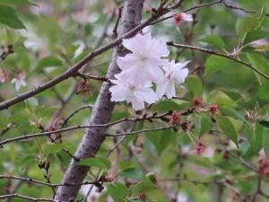 Octorber cherry ジュウガツザクラ 十月桜 花の様子