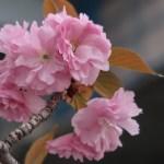 Cherry var. Kanzan 関山 花の姿