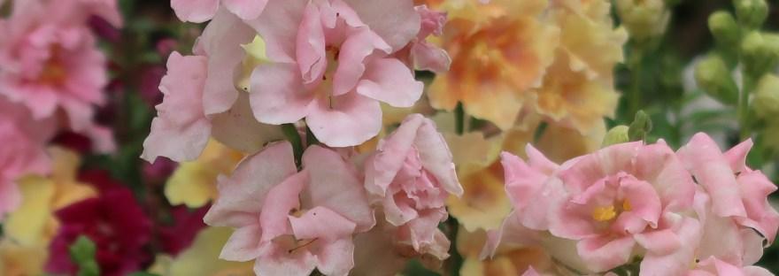 Snapdragon/ キンギョソウ 花の姿