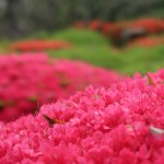 Azalea ツツジ サツキの花の様子