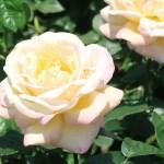 Modern garden rose/ Hybrid Tea/ Peace ピース
