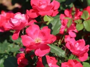 Modern garden rose/ Floribunda/ Knock out ノックアウト 花の様子