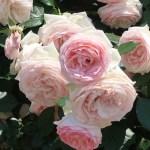 Pierre de Ronsard ピエール・ドゥ・ロンサール 花の様子