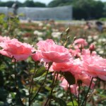 Modern garden rose/ Grandiflora/ Queen Elizabeth クイーンエリザベス 花の様子