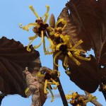 Chinese witch hazel/ シナマンサク 花の様子