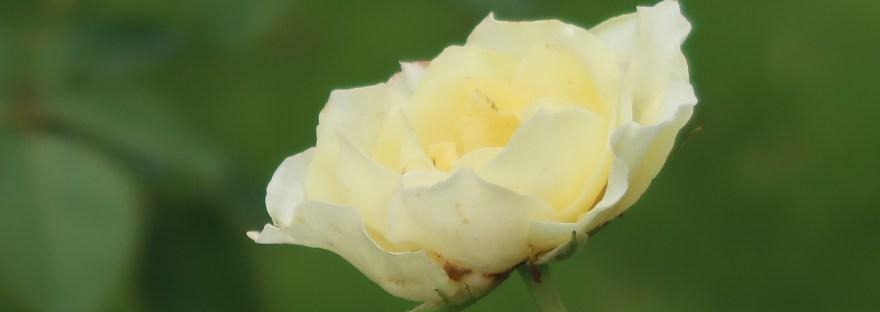 Modern garden rose/ HT Hybrid Tea/ Elina / エリナ