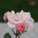 Modern garden rose/ Shrub/ Bonica'82 ボニカ'82