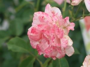Modern garden rose/ Grandiflora/ Queen Elizabeth クイーンエリザベス 花の姿
