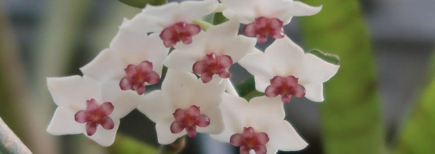 Miniature wax plant/ ホヤベラ