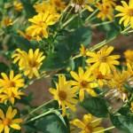 Orange sunflower/ キクイモモドキ 花の様子