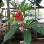 Indian snakeroot インドジャボク 花の咲いている様子