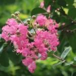 Crape myrtle/ サルスベリ 花の姿