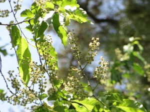 Dog cherry/ イヌザクラ 花の様子