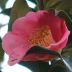 Japanese camellia/ ツバキ ヤブツバキ 藪椿