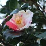 Japanese camellia/ ツバキ 品種:葛城絞