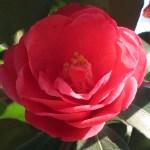 Japanese camellia/ ツバキ 品種:八重姫